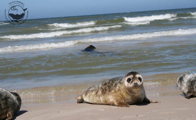 Co zrobić gdy spotkamy fokę na plaży? Pierwsze trafiły już do helskiego ośrodka rehabilitacji